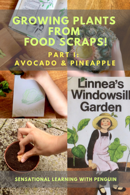 Growing Plants from Food Scraps, Part I: Avocado & Pineapple #Homegrown #GardeningWithKids #HandsOnLearning #MultisensoryLearning sensationallearningwithpenguin.com