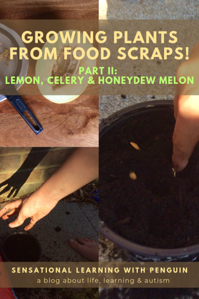 Growing Plants From Food Scraps II: Lemon, Celery & Honeydew Melon!